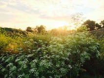 Flores hermosas del campo Imágenes de archivo libres de regalías