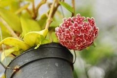 Flores hermosas del carnosa de Hoya Foto de archivo libre de regalías