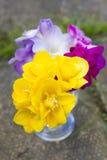 Flores hermosas del cierre de la fresia para arriba Imagen de archivo libre de regalías