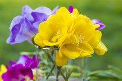 Flores hermosas del cierre de la fresia para arriba Fotos de archivo libres de regalías