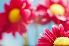 Flores hermosas del crisantemo del resorte rojo Foto de archivo libre de regalías