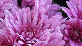 Flores hermosas del crisantemo Primer tirado de la flor floreciente del crisantemo metrajes
