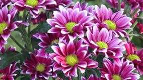 Flores hermosas del crisantemo Primer tirado de la flor floreciente del crisantemo almacen de metraje de vídeo