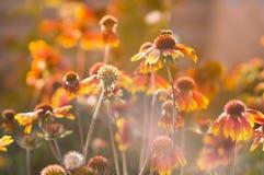 Flores hermosas del Echinacea Fotografía de archivo libre de regalías