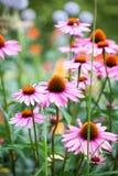 Flores hermosas del Echinacea Fotos de archivo libres de regalías