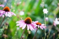 Flores hermosas del Echinacea Fotografía de archivo