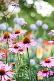 Flores hermosas del Echinacea Foto de archivo libre de regalías
