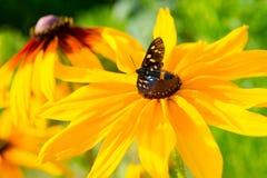 Flores hermosas del echinacea con la mariposa Tiger Grass Borer Foto de archivo libre de regalías