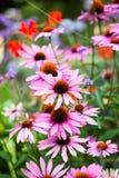 Flores hermosas del echinacea en los jardines de Kew Fotografía de archivo