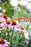 Flores hermosas del echinacea en los jardines de Kew Fotos de archivo libres de regalías