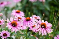 Flores hermosas del echinacea en los jardines de Kew Imágenes de archivo libres de regalías
