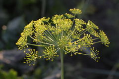 Flores hermosas del eneldo del verano Foto de archivo libre de regalías