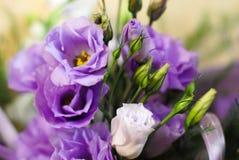 Flores hermosas del eustoma púrpura foto de archivo
