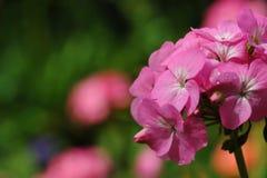 Flores hermosas del geranio Fotos de archivo libres de regalías