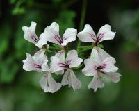 Flores hermosas del geranio Imágenes de archivo libres de regalías