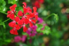 Flores hermosas del geranio Foto de archivo libre de regalías