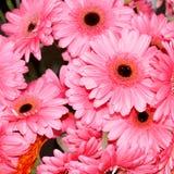 Flores hermosas del Gerbera rosado Fotografía de archivo