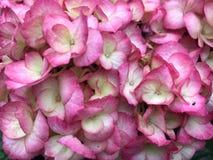 Flores hermosas del Hydrangea imagen de archivo libre de regalías