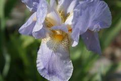 Flores hermosas del jardín - iris Detalles de flores imágenes de archivo libres de regalías