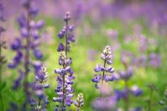 Flores hermosas del Lupine en un prado fotografía de archivo
