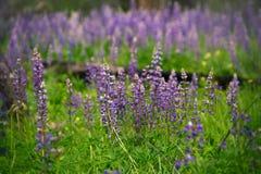 Flores hermosas del Lupine en un prado imágenes de archivo libres de regalías