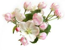 Flores hermosas del manzano Foto de archivo libre de regalías