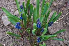 Flores hermosas del Muscari Muscari imágenes de archivo libres de regalías
