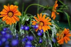 Flores hermosas del orang Foto de archivo libre de regalías
