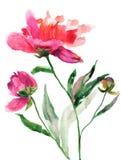 Flores hermosas del peony Fotografía de archivo