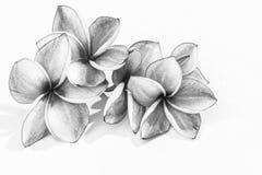 Flores hermosas del plumeria o flores del frangipani Fotografía de archivo