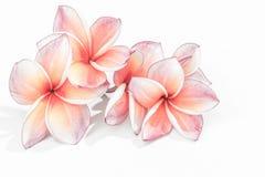 Flores hermosas del plumeria o flores del frangipani Fotografía de archivo libre de regalías
