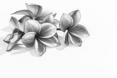 Flores hermosas del plumeria o flores del frangipani Fotos de archivo libres de regalías