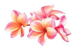 Flores hermosas del plumeria o flores del frangipani Imagenes de archivo