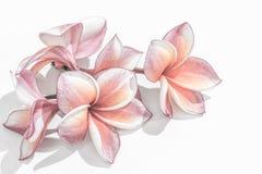 Flores hermosas del plumeria o flores del frangipani Imagen de archivo libre de regalías