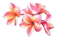 Flores hermosas del plumeria o flores del frangipani Imagen de archivo
