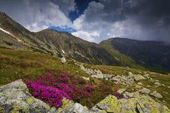 Flores hermosas del rododendro en altas montañas Foto de archivo