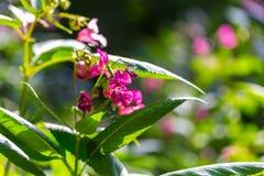 Flores hermosas del rosa salvaje Fotografía de archivo libre de regalías