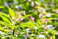 Flores hermosas del rosa salvaje Imagenes de archivo