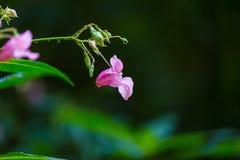 Flores hermosas del rosa salvaje Fotografía de archivo