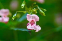 Flores hermosas del rosa salvaje Fotos de archivo libres de regalías