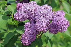 Flores hermosas, delicadas y fragantes del color rosado de la lila floreciente de la primavera en un primero de mayo foto de archivo libre de regalías