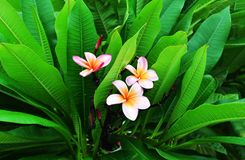 Flores hermosas en Chandigarh la India Foto de archivo