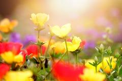 Flores hermosas en diversos colores en puesta del sol temprana Imágenes de archivo libres de regalías