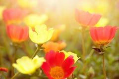 Flores hermosas en diversos colores en puesta del sol temprana Fotografía de archivo libre de regalías
