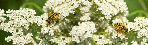 Flores hermosas en el ascendente cercano del jardín y de la abeja Foto de archivo