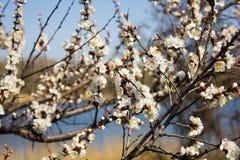 Flores hermosas en el manzano en naturaleza Imagen de archivo