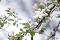 Flores hermosas en el manzano en la primavera, fondo Imagen de archivo libre de regalías