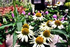 Flores hermosas en Holanda foto de archivo libre de regalías
