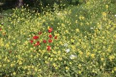 Flores hermosas en Israel Mount Gilboa Carmel Foto de archivo libre de regalías