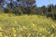 Flores hermosas en Israel Mount Gilboa Carmel Imagen de archivo